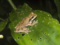 βάτραχος που επισημαίνε&tau Στοκ φωτογραφία με δικαίωμα ελεύθερης χρήσης