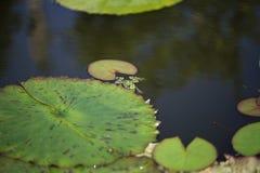 Βάτραχος που κολυμπά δίπλα σε ένα μαξιλάρι κρίνων στοκ εικόνες με δικαίωμα ελεύθερης χρήσης