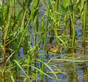 Βάτραχος που κρύβεται μεταξύ των καλάμων Στοκ φωτογραφία με δικαίωμα ελεύθερης χρήσης