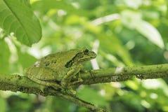 Βάτραχος που στηρίζεται σε έναν κλάδο στο δάσος Στοκ εικόνες με δικαίωμα ελεύθερης χρήσης