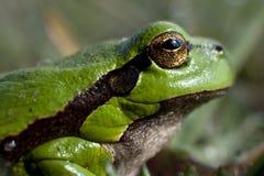 βάτραχος πράσινος λίγα στοκ φωτογραφία με δικαίωμα ελεύθερης χρήσης