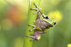 βάτραχος πράσινος Στοκ Εικόνες