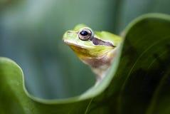 βάτραχος πράσινος στοκ εικόνες με δικαίωμα ελεύθερης χρήσης