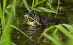 βάτραχος πράσινος Στοκ φωτογραφίες με δικαίωμα ελεύθερης χρήσης