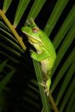 βάτραχος πράσινος Στοκ Φωτογραφίες