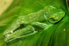 βάτραχος πράσινος στοκ εικόνα με δικαίωμα ελεύθερης χρήσης