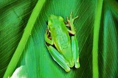 βάτραχος πράσινος Στοκ Φωτογραφία