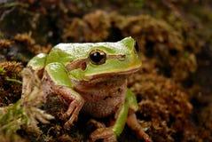 Βάτραχος σε έναν φυσικό βιότοπο στοκ εικόνα