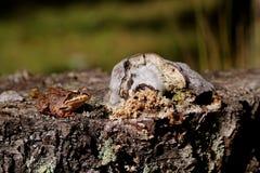 Βάτραχος σε ένα κολόβωμα στοκ φωτογραφίες