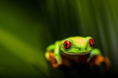 Βάτραχος σε ένα φύλλο στη ζούγκλα στοκ φωτογραφίες