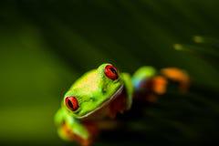 Βάτραχος σε ένα φύλλο στη ζούγκλα στοκ φωτογραφία