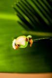 Βάτραχος σε ένα φύλλο στη ζούγκλα στοκ εικόνα
