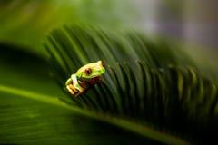 Βάτραχος σε ένα φύλλο στη ζούγκλα στοκ φωτογραφία με δικαίωμα ελεύθερης χρήσης