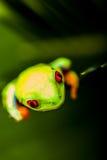 Βάτραχος σε ένα φύλλο στη ζούγκλα στοκ εικόνες με δικαίωμα ελεύθερης χρήσης