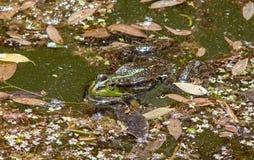 Βάτραχος σε μια λίμνη Στοκ Φωτογραφία