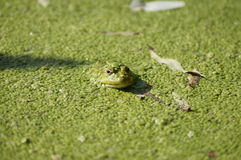 Βάτραχος στη λάσπη Στοκ Εικόνα