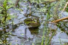 Βάτραχος στη λίμνη Στοκ Εικόνα