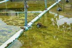 Βάτραχος στη λίμνη Στοκ Φωτογραφία