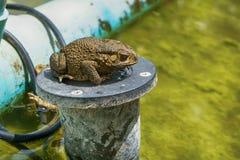 Βάτραχος στη λίμνη Στοκ φωτογραφίες με δικαίωμα ελεύθερης χρήσης