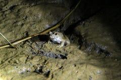 Βάτραχος στη νύχτα - σύνδεση Sukau Στοκ εικόνες με δικαίωμα ελεύθερης χρήσης