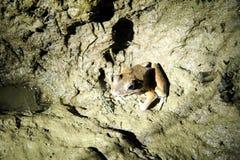 Βάτραχος στη νύχτα - σύνδεση Sukau Στοκ Φωτογραφίες