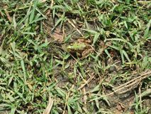 Βάτραχος στη χλόη Στοκ φωτογραφίες με δικαίωμα ελεύθερης χρήσης