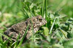 Βάτραχος στη χλόη Στοκ φωτογραφία με δικαίωμα ελεύθερης χρήσης
