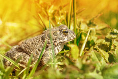 Βάτραχος στη χλόη Στοκ εικόνα με δικαίωμα ελεύθερης χρήσης