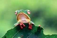 Βάτραχος στον κλάδο, βάτραχος δέντρων, βάτραχος Στοκ φωτογραφία με δικαίωμα ελεύθερης χρήσης
