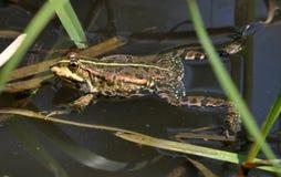 Βάτραχος στον ποταμό Στοκ φωτογραφία με δικαίωμα ελεύθερης χρήσης