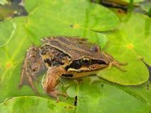 Βάτραχος στους κρίνους νερού а στον ποταμό ust-Anga Στοκ Εικόνα