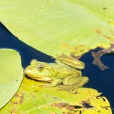 Βάτραχος στο δέλτα Δούναβη Στοκ εικόνες με δικαίωμα ελεύθερης χρήσης