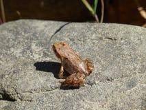 Βάτραχος στο βράχο Στοκ φωτογραφία με δικαίωμα ελεύθερης χρήσης