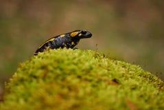 Βάτραχος στο βρύο Στοκ Εικόνες