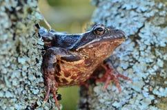 Βάτραχος στο δέντρο Στοκ Φωτογραφίες