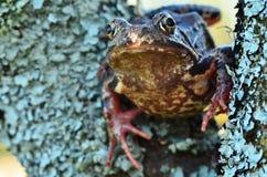 Βάτραχος στο δέντρο Στοκ εικόνα με δικαίωμα ελεύθερης χρήσης