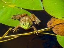Βάτραχος στο μαξιλάρι κρίνων Στοκ Φωτογραφίες