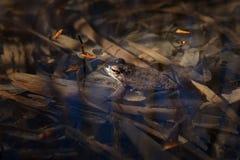 Βάτραχος στο νερό Στοκ Φωτογραφίες
