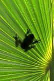 Βάτραχος στο φύλλο Στοκ εικόνες με δικαίωμα ελεύθερης χρήσης