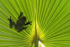 Βάτραχος στο φύλλο Στοκ φωτογραφία με δικαίωμα ελεύθερης χρήσης