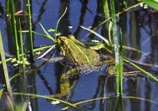 Βάτραχος στο river_6 Στοκ Εικόνα