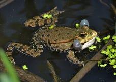 Βάτραχος στο river_7 Στοκ φωτογραφίες με δικαίωμα ελεύθερης χρήσης