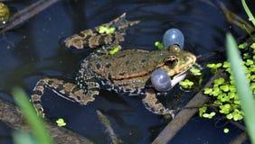 Βάτραχος στο river_8 Στοκ εικόνες με δικαίωμα ελεύθερης χρήσης