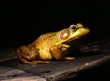 βάτραχος ταύρων Στοκ Φωτογραφία