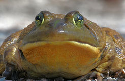 βάτραχος ταύρων Στοκ Εικόνες
