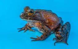 βάτραχος ταύρων Στοκ Εικόνα