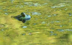 βάτραχος ταύρων Στοκ Φωτογραφίες