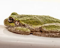 Βάτραχος τοποθέτησης Στοκ φωτογραφία με δικαίωμα ελεύθερης χρήσης