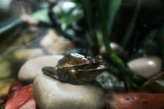 Βάτραχος φρύνων καλάμων Στοκ φωτογραφίες με δικαίωμα ελεύθερης χρήσης