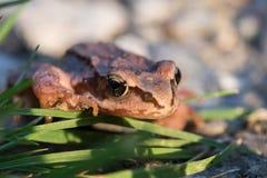 Βάτραχος φύλλων στη χλόη Στοκ φωτογραφία με δικαίωμα ελεύθερης χρήσης